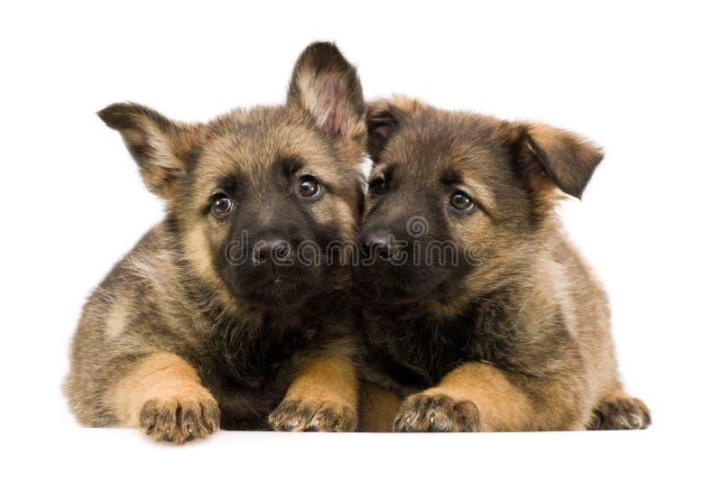 Zwei Schäferhunde puppys stockbilder
