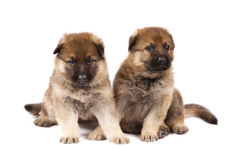 Zwei Schäferhunde puppys stockfotos