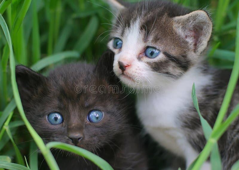 Zwei Schätzchenkatzen im Gras lizenzfreie stockfotografie