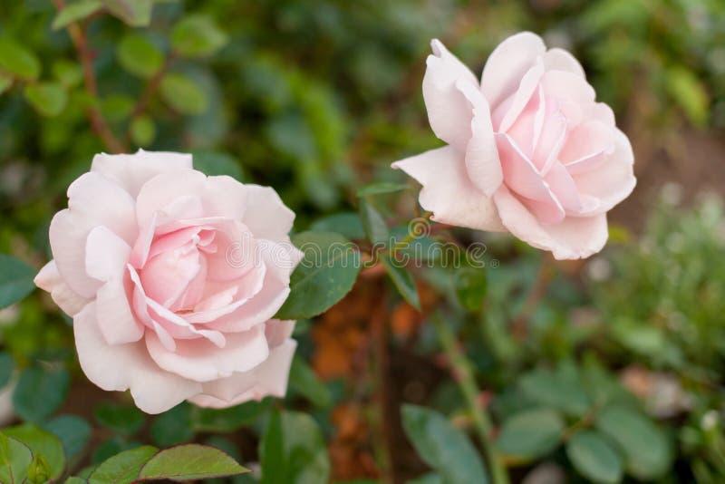 Zwei schöne rosa Rosen auf unscharfem grünem Hintergrund stockfotografie