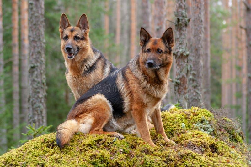 Zwei schöne Schäferhunde im Wald stockfoto
