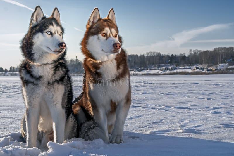 Zwei schöne Schlittenhunde, die auf den Winterstrand gehen Hunde des sibirischen Huskys auf dem Schnee lizenzfreie stockfotografie