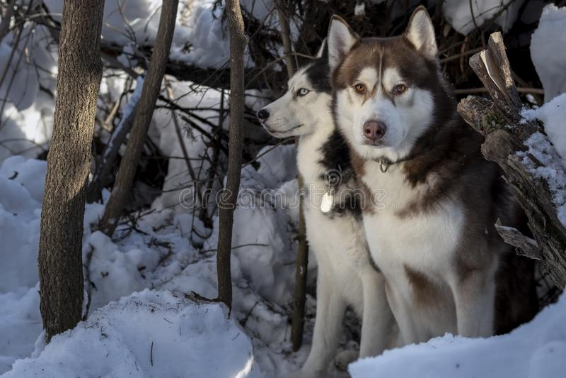 Zwei schöne Schlittenhunde, die in die Hunde des Winterwaldsibirischen huskys auf dem Schnee gehen stockfoto