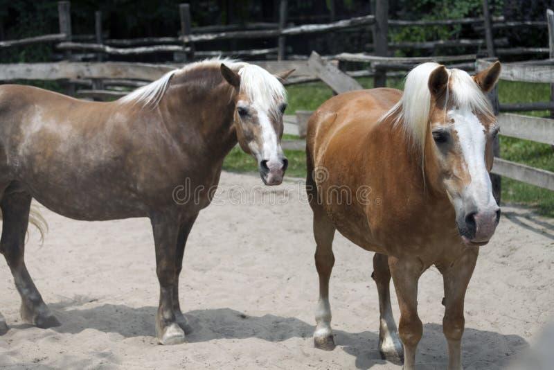 Zwei schöner Pferdeweg lizenzfreie stockbilder