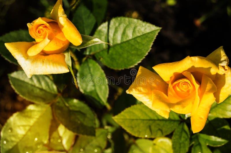 Zwei sch?ne gelbe Rosen, die in einem Gartenhintergrund von Gr?nbl?ttern und von St?mmen, das Konzept von Postkarten bl?hen lizenzfreie stockfotografie