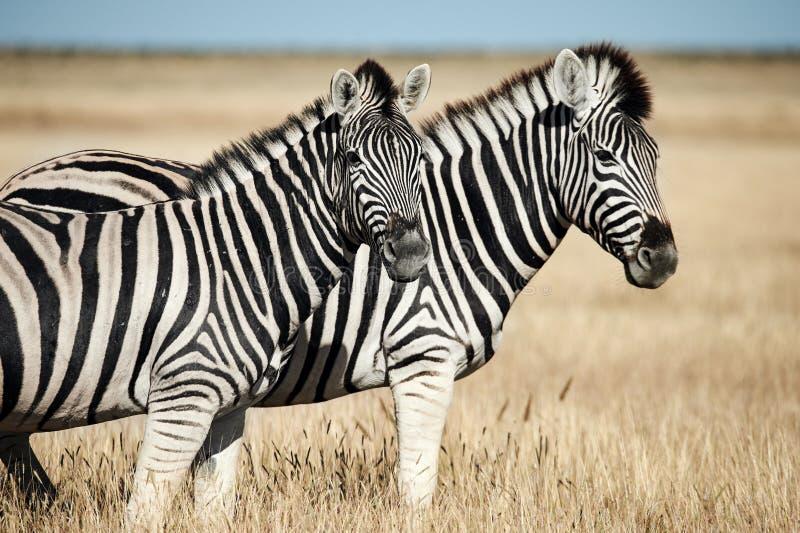Zwei sch?ne Zebras in der afrikanischen Savanne lizenzfreies stockbild