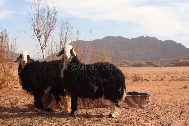 Zwei Schafe lizenzfreie stockbilder