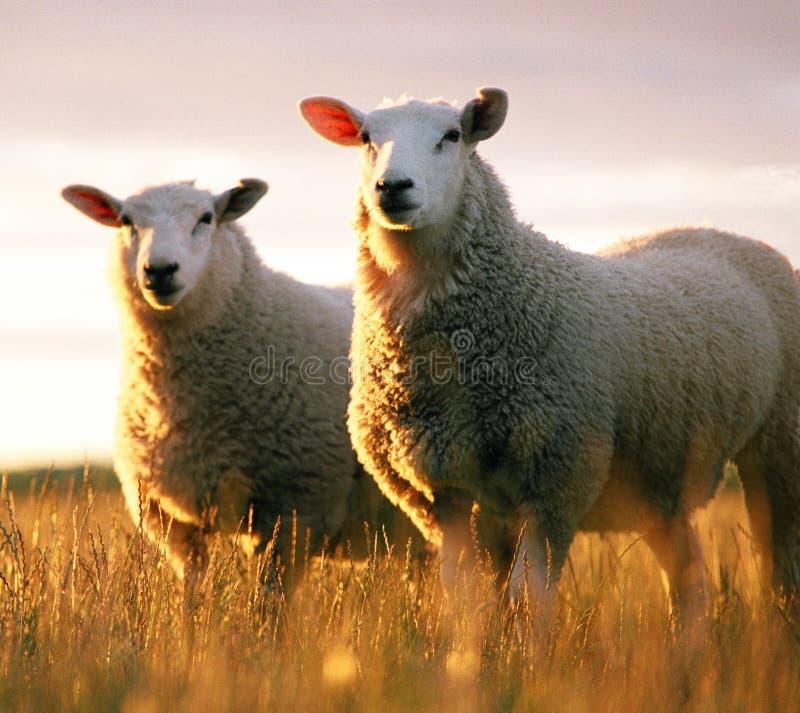 Zwei Schafe stockfotografie