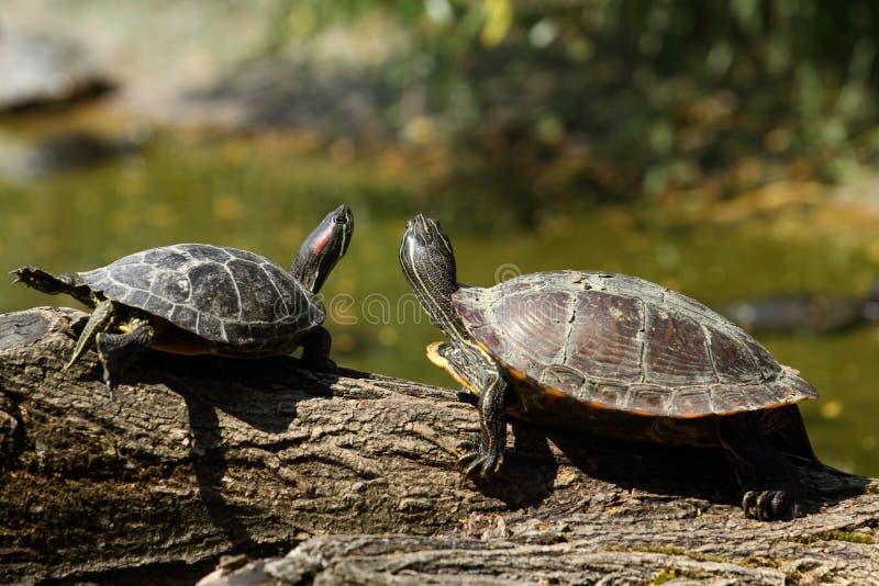 Zwei Schildkröten auf einem Protokoll lizenzfreie stockfotos