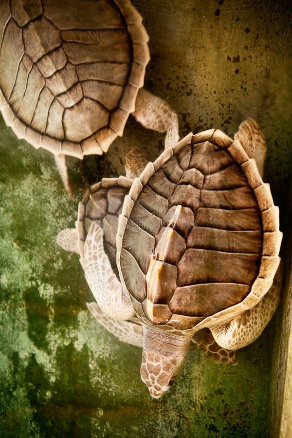 Zwei Schildkröten Beschaffenheit der Schildkrötenschale lizenzfreies stockbild