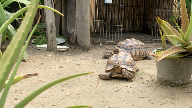 Zwei Schildkröten, die auf den Sand gehen lizenzfreie stockbilder