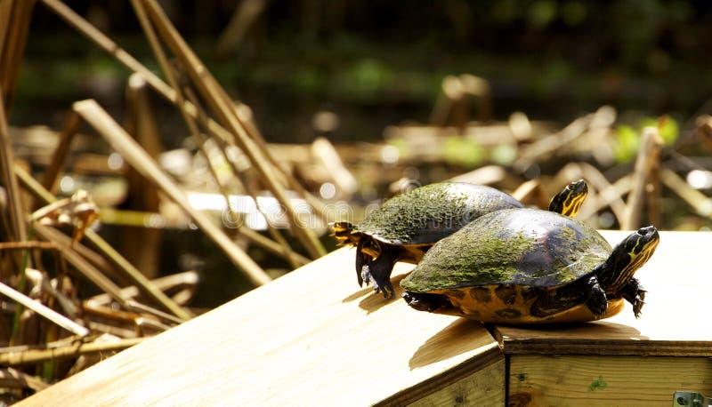 Zwei Schildkröten sitzen auf einem Gestell im Sumpf stockfoto
