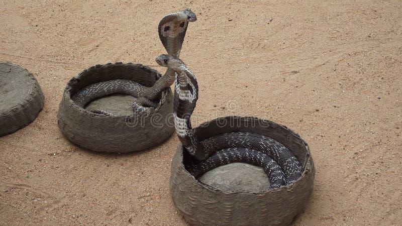 Zwei Schlangen stockfotos