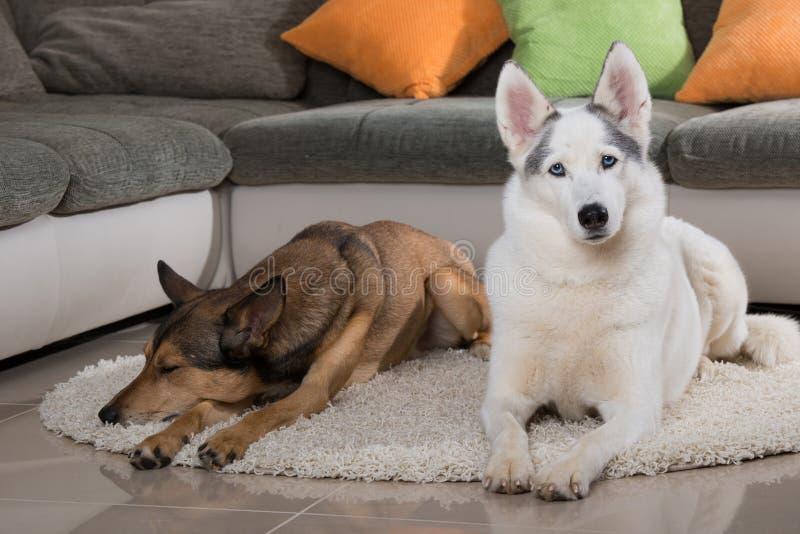 Zwei Schlittenhunde, die in einem Wohnzimmer liegen lizenzfreie stockfotografie