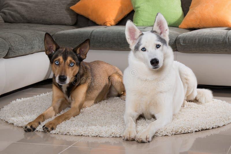 Zwei Schlittenhunde, die in einem Wohnzimmer liegen lizenzfreies stockbild