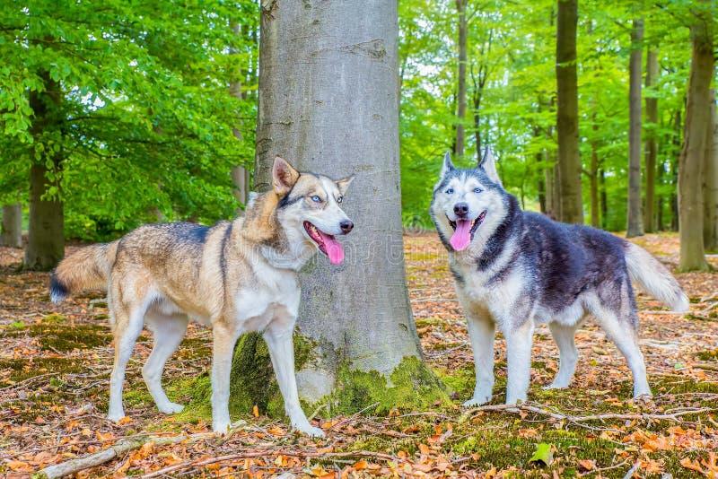 Zwei Schlittenhunde stehen zusammen im Wald lizenzfreies stockfoto