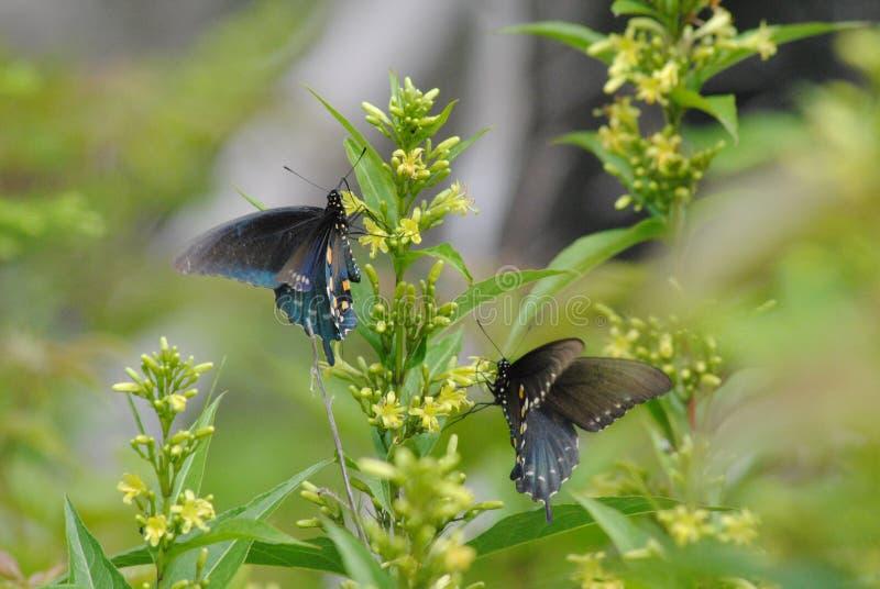 Zwei Schmetterlinge, die auf eine Blume tanzen stockfotografie