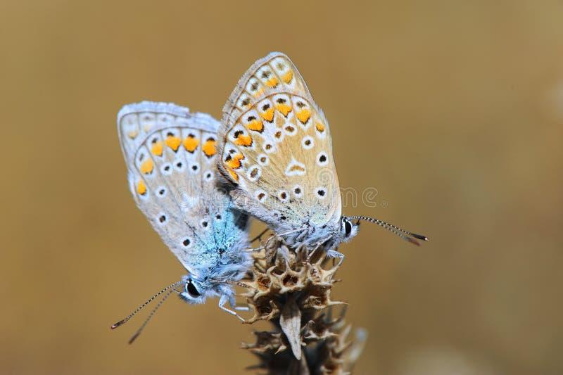 Zwei Schmetterlinge, die Liebe auf den Blumen machen stockfoto