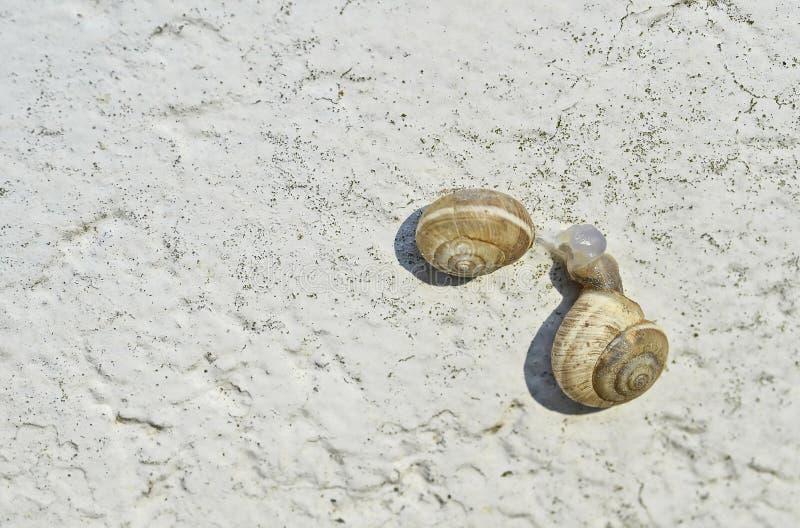Zwei Schnecken die Familie von Helicidae auf einer weißen Kalkwand nach der Tat der Wiedergabe Hintergrund lizenzfreies stockfoto