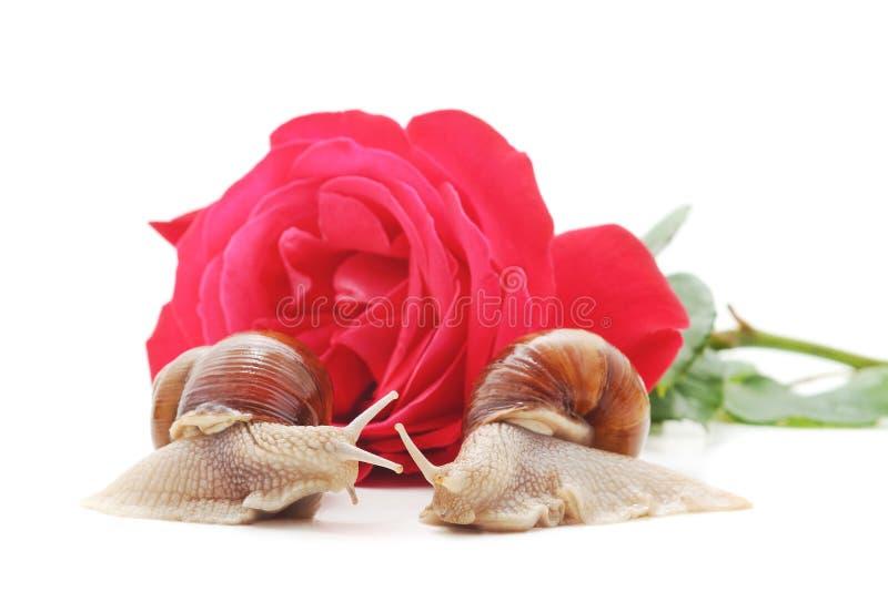 Zwei Schnecken mit einer Rose lizenzfreies stockbild