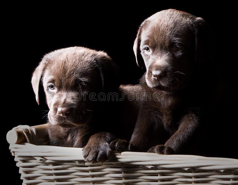 Zwei Schokoladen-Labrador-Welpen in einem Korb stockfoto
