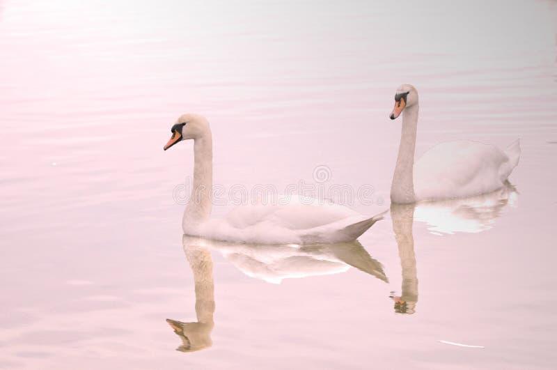 Zwei Schwäne dachten über See nach lizenzfreie stockfotografie