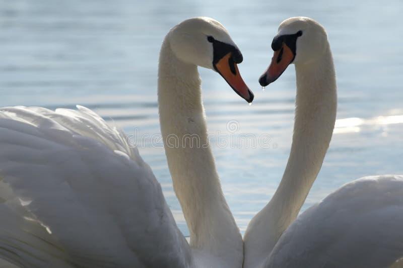 Zwei Schwäne in der Liebe stockfotos