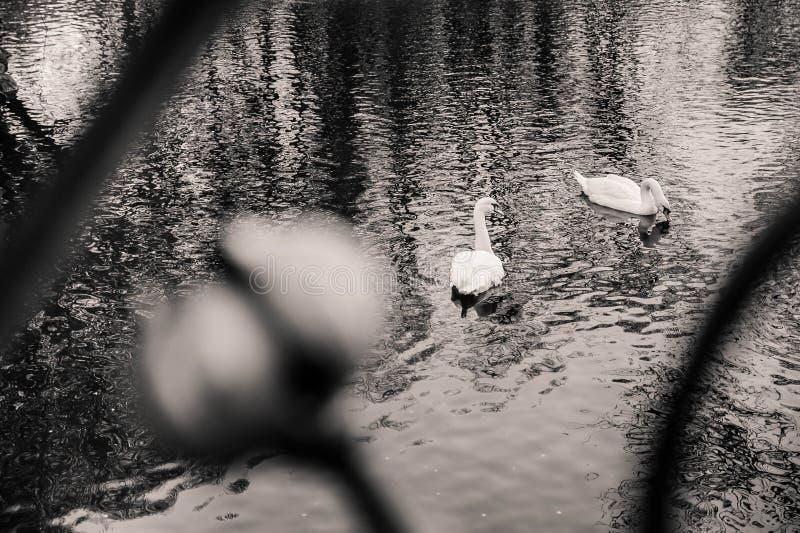 Zwei Schwäne, die im See schwimmen, schossen durch das Fechten stockfoto
