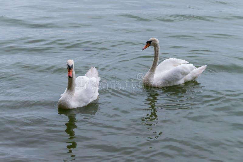 Zwei Schwäne mit den orange Schnäbeln und weißem Gefieder schwimmen auf die Wasseroberfläche lizenzfreies stockbild