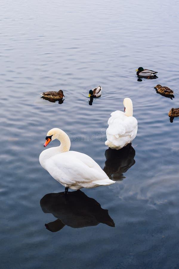 Zwei Schwäne und Enten auf Teich stockfotos