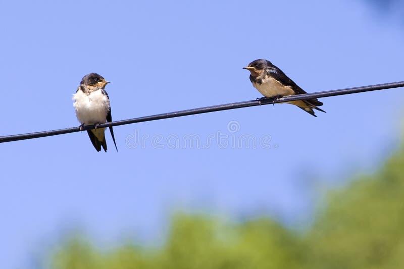 Zwei Schwalbenvögel auf Draht stockbild