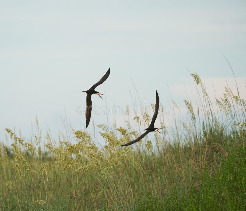 Zwei schwarze Abstreicheisen jagen sich stockfotografie