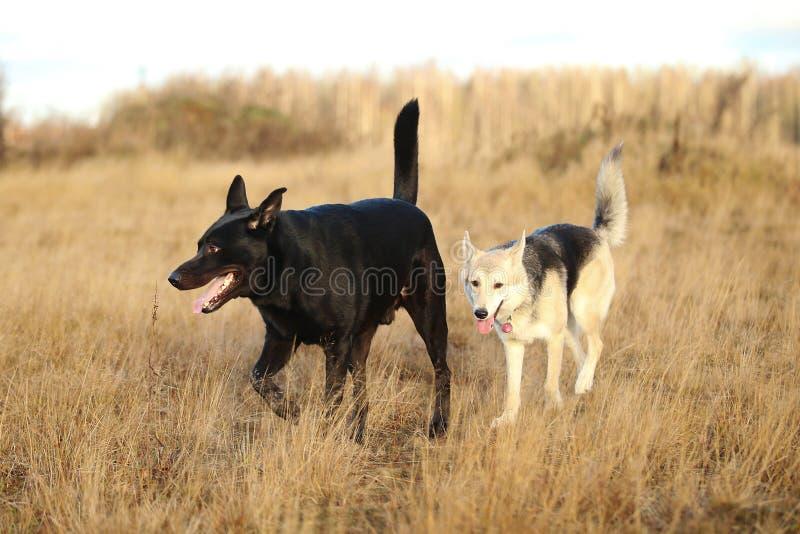 Zwei schwarze Hunde der netten Mischzucht, die auf Herbstwiese gehen lizenzfreies stockfoto