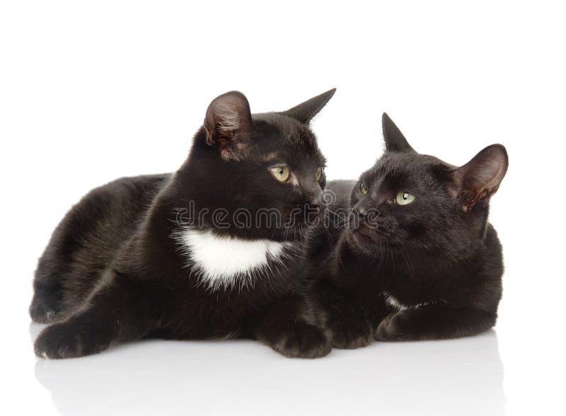 Zwei schwarze Katzen, die einander betrachten Lokalisiert auf weißem backgrou lizenzfreie stockfotos