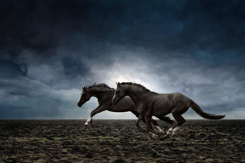 Zwei schwarze Pferde lizenzfreie stockfotos