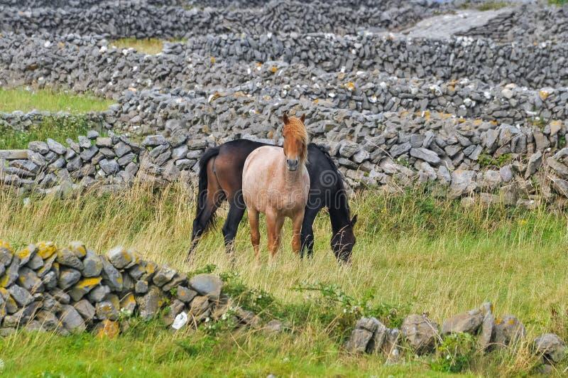 Zwei schwarze Pferde und rotbraune Pferde lassen zusammen Form plus in einem Feld im Sommer zwischen Steinzäunen in Irland weiden stockbilder