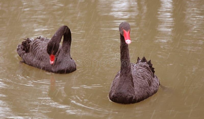 Zwei schwarze Schwäne auf dem Teich stockfoto