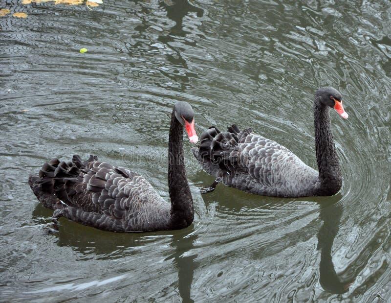 Zwei schwarze Schwäne, die auf den See schwimmen lizenzfreies stockfoto