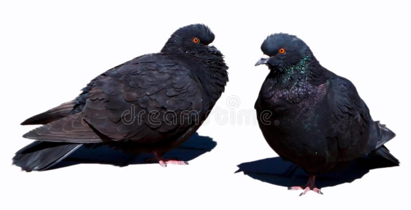 Zwei schwarze Tauben stockfoto