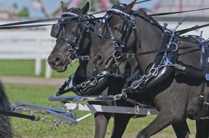 Zwei schwarzes Miniatur-Pferd in der Verdrahtung lizenzfreies stockbild