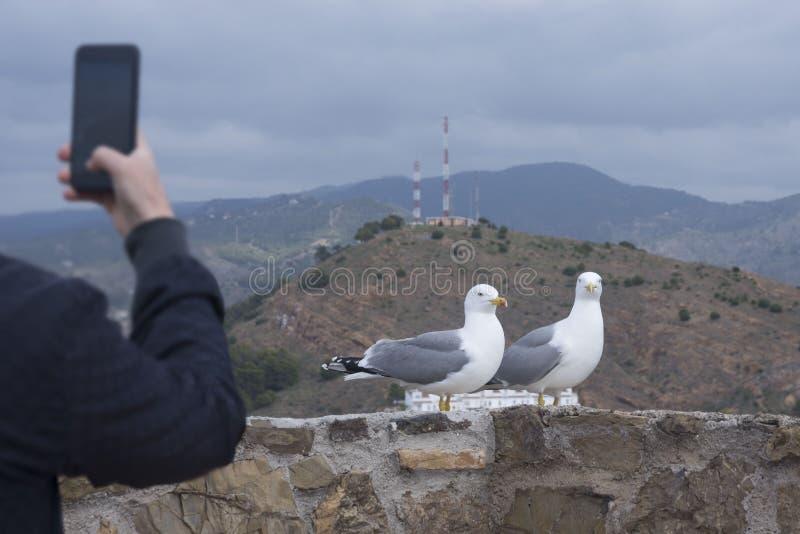 Zwei Schwarzkopfmöwen Larus michahellis stehen auf der Steinwand der alten Festung Ein Mann fotografiert Vögel auf einem Smartpho stockbild