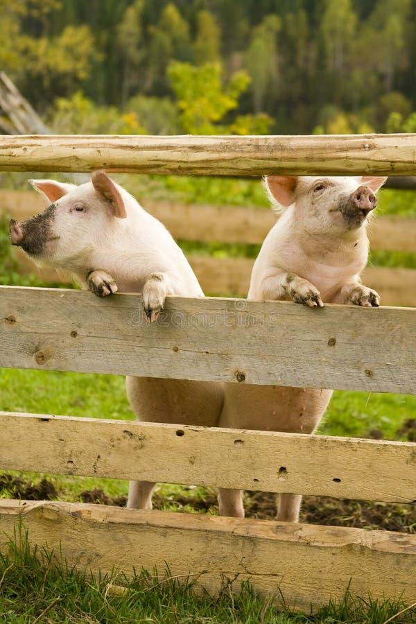 Fantastisch Schwein Drahtzaun Gebäude Ideen - Elektrische ...