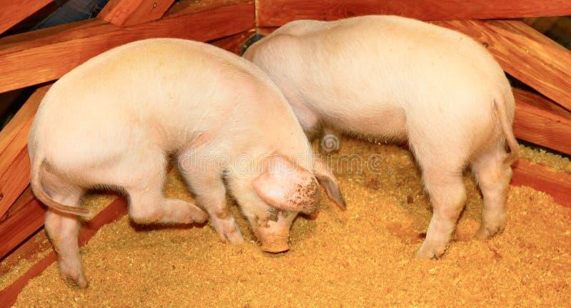 Zwei Schweine stockfoto