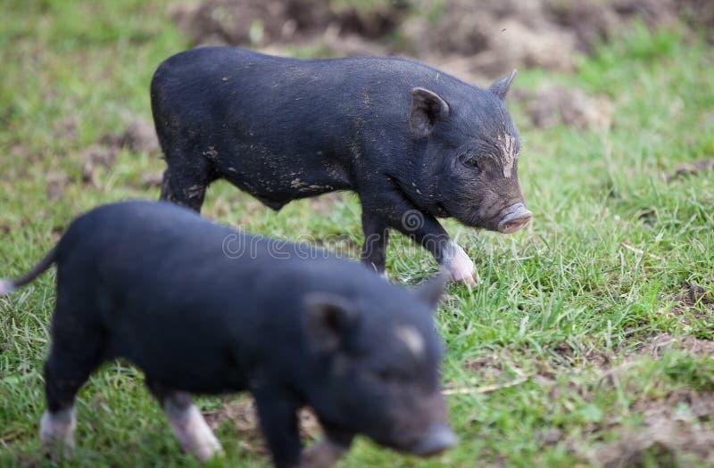 Zwei Schweine lizenzfreies stockbild