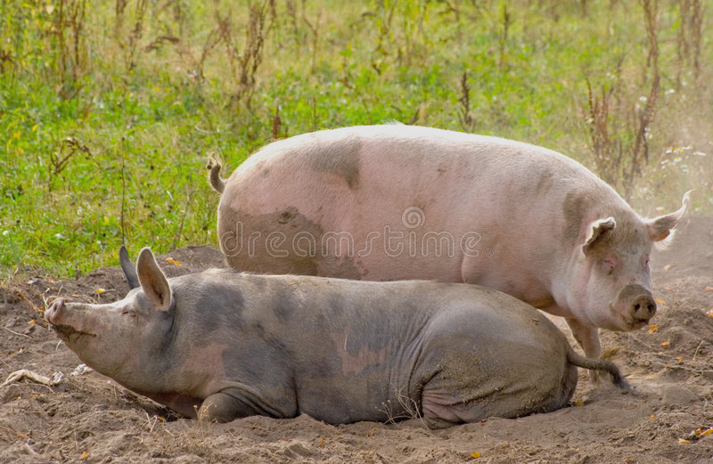 Zwei Schweine, die in einen Staub legen lizenzfreie stockfotografie