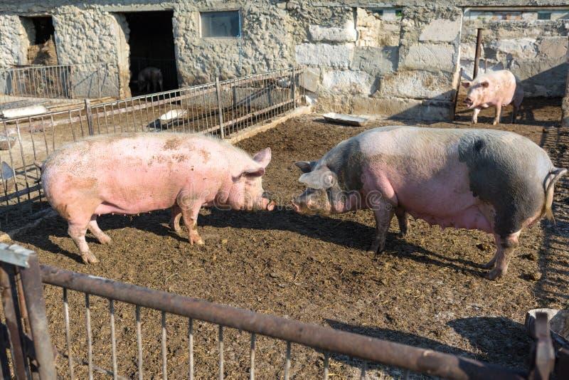 Zwei Schweine stellen sich gegenüber Bauernhof mit Viehhaltung lizenzfreies stockbild