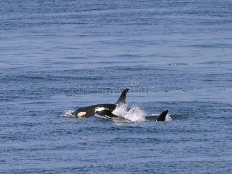 Zwei Schwertwalwale lizenzfreies stockfoto