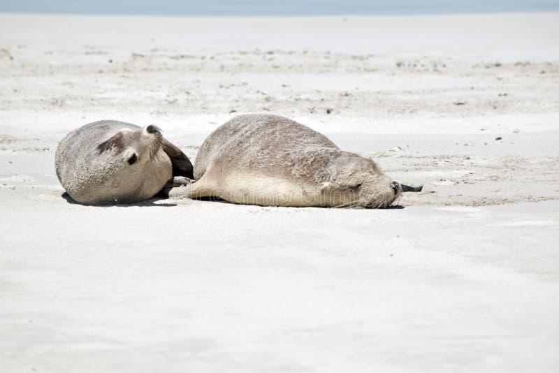 Zwei Seelöwen lizenzfreie stockfotos