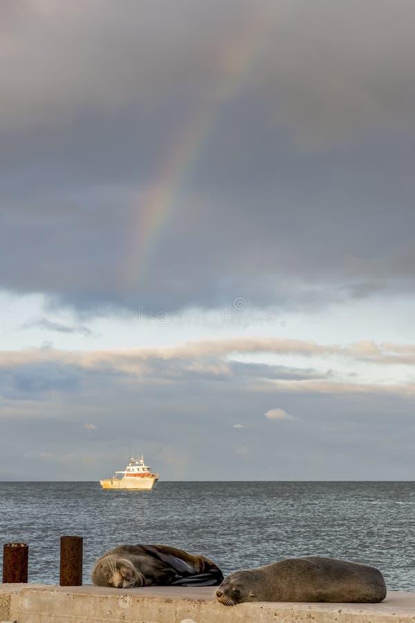 Zwei Seelöwen stehen auf dem Strand mit einem Fischerboot im Hintergrund und dem Regenbogen im Himmel, Kingscote, Australien stil lizenzfreie stockfotos
