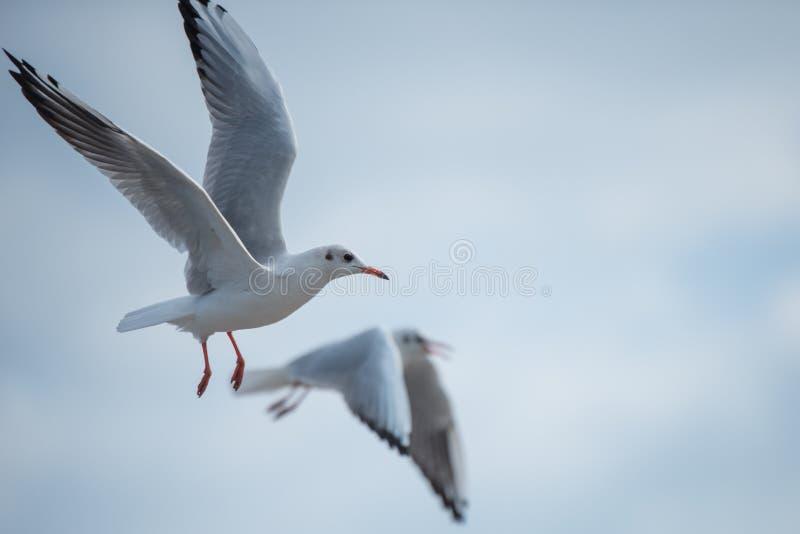 Zwei Seemöwen, die das Überschreiten vorbei in den bewölkten Himmel fliegen stockbild